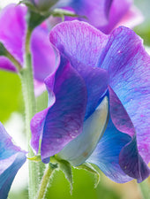 Blue Shift Sweet Pea Flower Close Up Macro