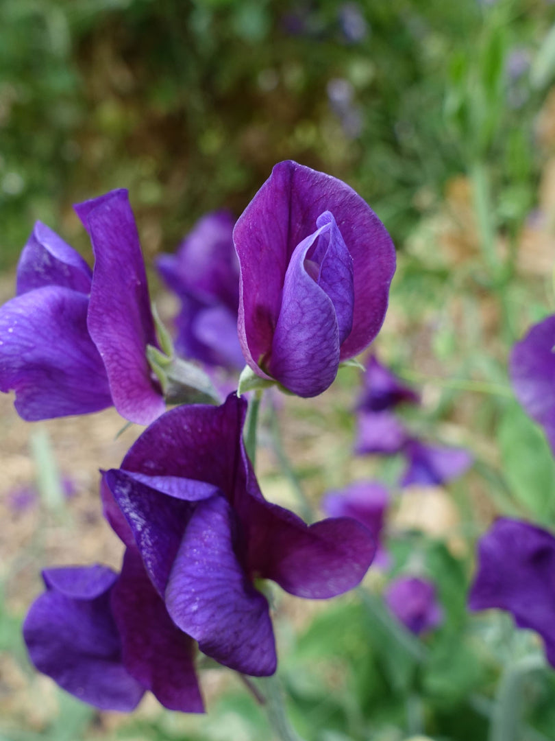 Blue Velvet Sweet Pea Growing on the Vine