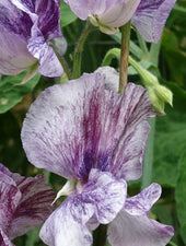 Close Up of Earl Grey Sweet Pea Flowers