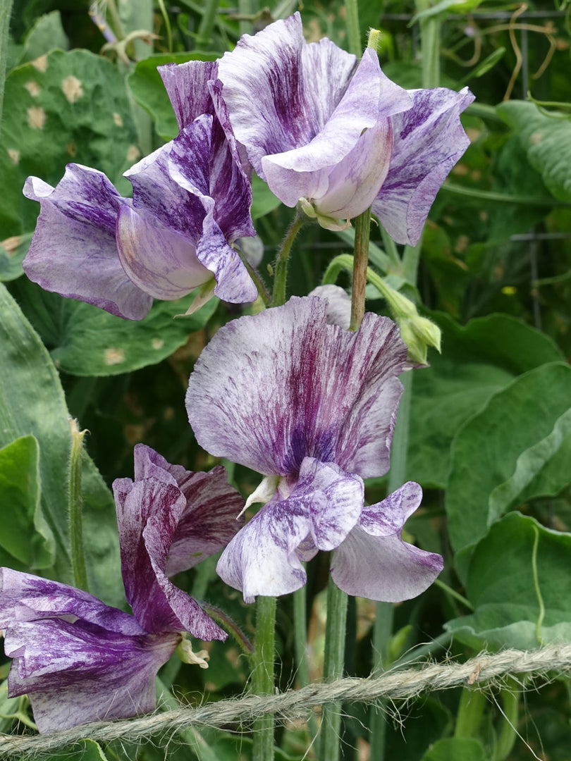 Earl Grey Sweet Pea Flowers
