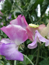 Enchante Sweet Pea Flowers Grown from Sweet Pea Seed