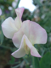 Frolic Sweet Pea Flowers