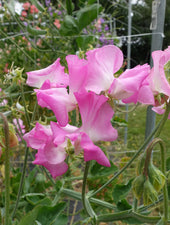 Gwendoline Sweet Pea Flowers Growing on the Vine
