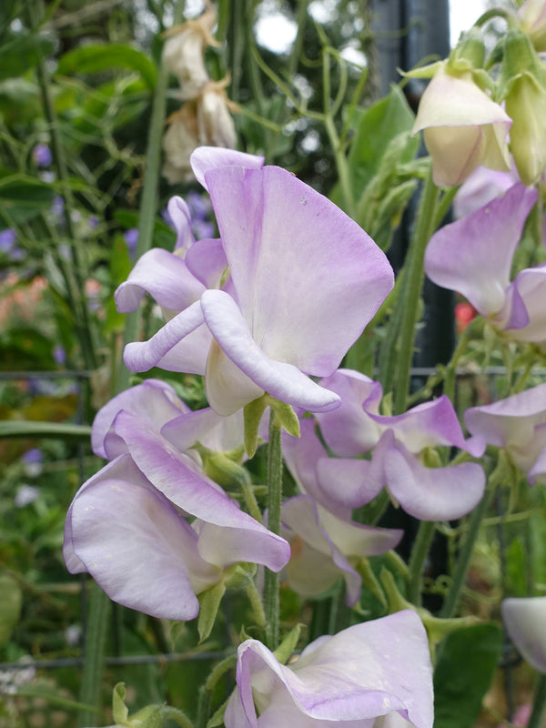 High Scent Sweet Pea Flowers
