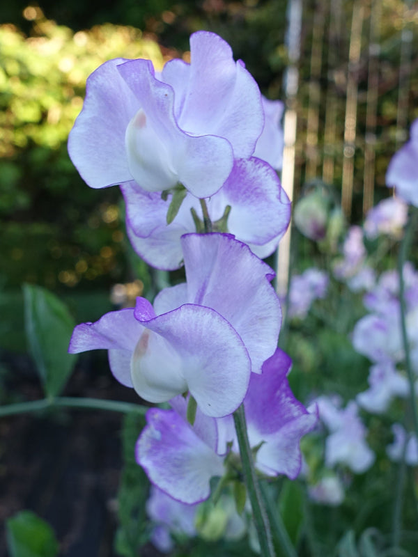 Lilac Ripple Sweet Pea Flowers