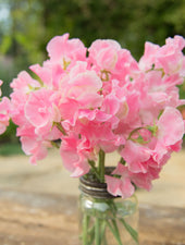 Mrs Bernard Jones Sweet Peas in a Vase