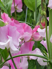 Nuance Sweet Pea Flowers