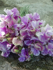 Bouquet of Pandemonium Sweet Pea Flowers