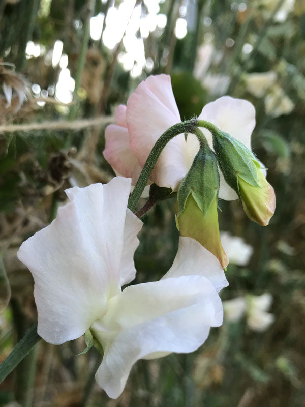 Piggy Sue Sweet Pea Flower