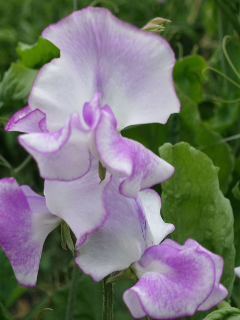 Close up of Sir Jimmy Shand Sweet Pea