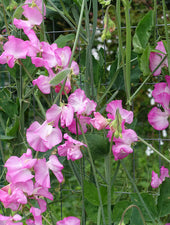 Sweet Pea Solstice Rose Pink Flowers Growing on the Vine