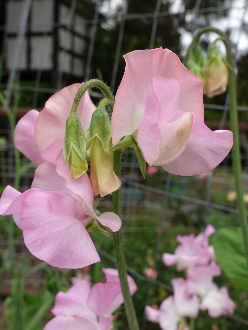 Sweet Pea Solstice Soft Pink with Buds