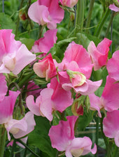 Sweet Pea Strawberry Fields Growing in Profusion