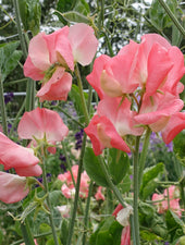 Valerie Harrod Sweet Pea Flowers Close Up