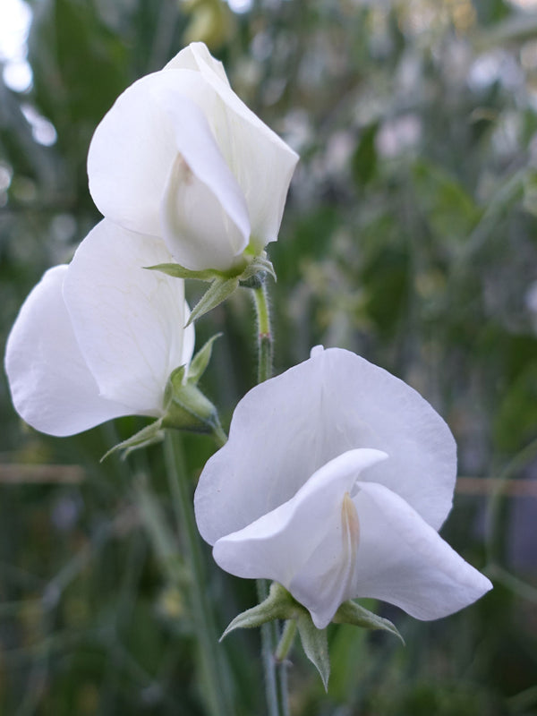 White Ensign Sweet Pea in Flower