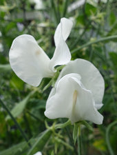 White Ensign Sweet Pea in Bloom