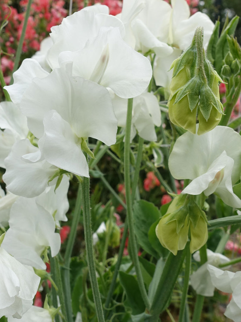 White Supreme Sweet Pea Flowers in Full Bloom
