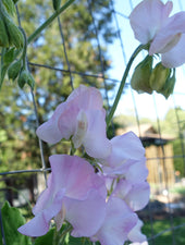 Winter Sunshine Opal Sweet Pea in Bloom
