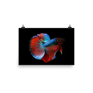Betta Fish Premium Luster Photo Paper Poster