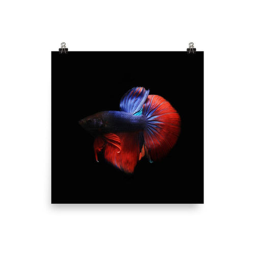 Betta Splendens Siamese Fighting Fish Premium Poster