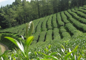You are only 5 short steps from the tea garden! With the latest freshest harvests always available!