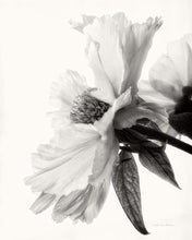 Load image into Gallery viewer, Translucent Peony IV - DEBRA VAN SWEARINGEN
