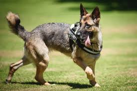 Five Fun Facts about Military Working Dogs
