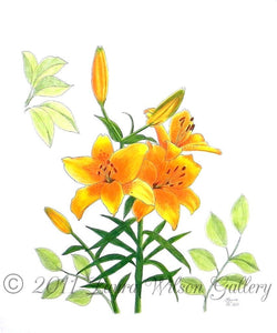 Asiatic  Lily Original Pen and Colored Pencil Drawing - Laura Wilson Gallery