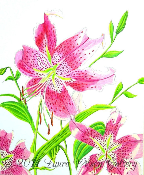 Stargazer Lily  Original Drawing in Pen and Colored Pencil - Laura Wilson Gallery