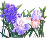 Three Irises Pen and Colored Pencil  Original Drawing - Laura Wilson Gallery