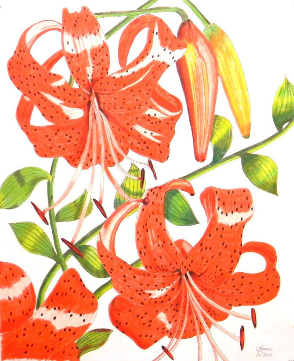 Orange Tiger Lily Original Drawing in Pen and Colored Pencil - Laura Wilson Gallery