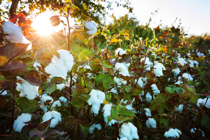 Why Organic Cotton Farming is a Safer Practice