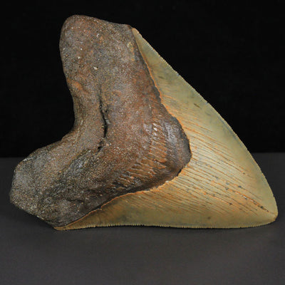 "5"" Fossil Megalodon Tooth Brown USA"