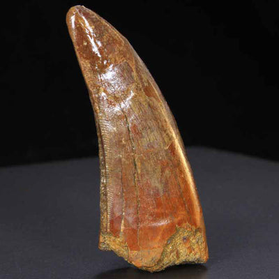 Carcharodontosaurus Tooth morocco Fossil