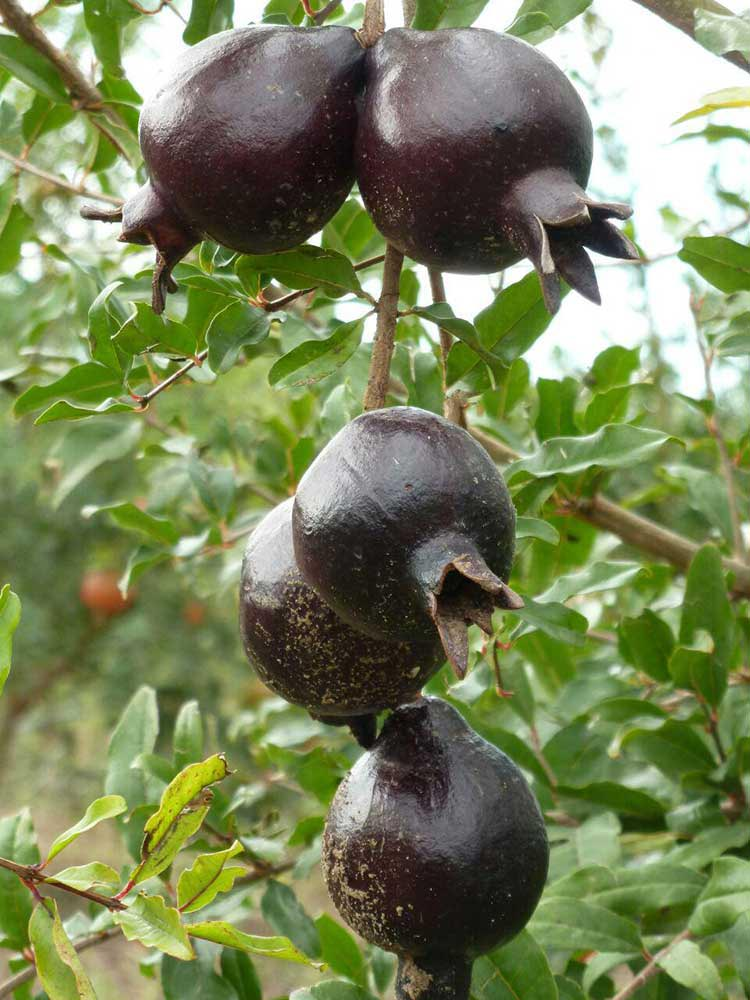 Black Pomegranate Anar-e siah انار سیاه (black candy)
