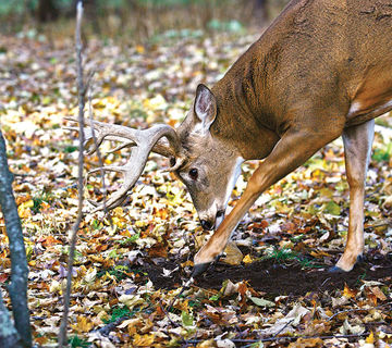 Whitetail Buck Scrapes – All You Need to Know