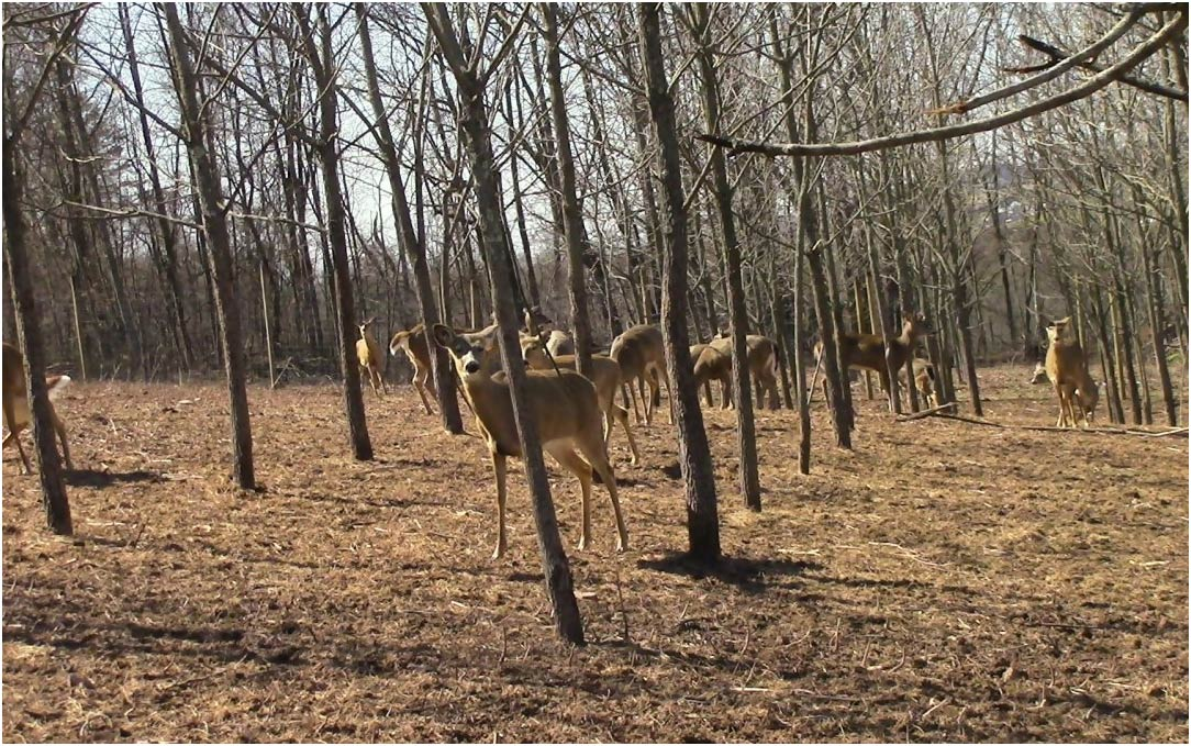 The importance of using premium deer urine to lure whitetail deer