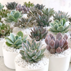 Mini Succulent Plants in Sydney