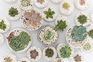 Succulent Plants shop