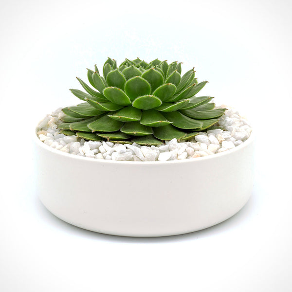 Large Succulent in a Big Bowl