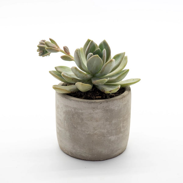 Happy Little Succulents Concrete Beauty