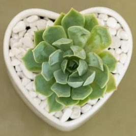 Mini Succulent Heart