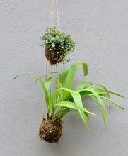 Load image into Gallery viewer, Kokedama Suspended Garden