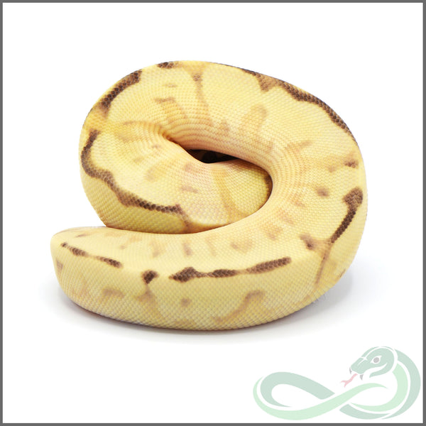 Pastel Orange Dream Enchi Sulfur Spider (Female #1)