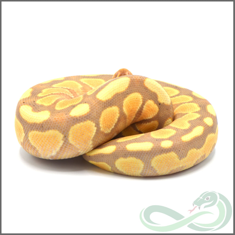 Banana Cypress Het Genetic Stripe *Female Maker* (Male #1)
