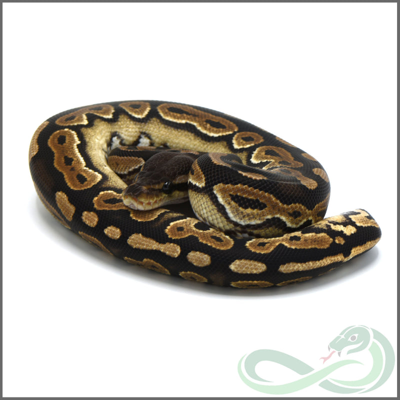 Cinnamon Possible Double Het Albino Tristripe (Male #3)