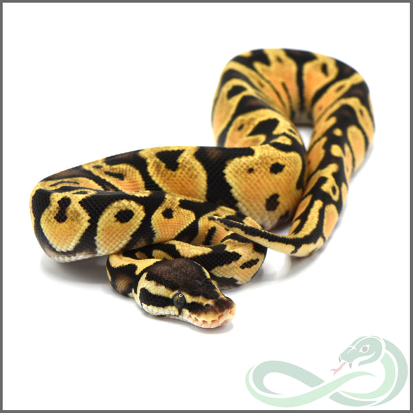 Pastel Orange Dream Gravel/Yellow Belly (Male #1)