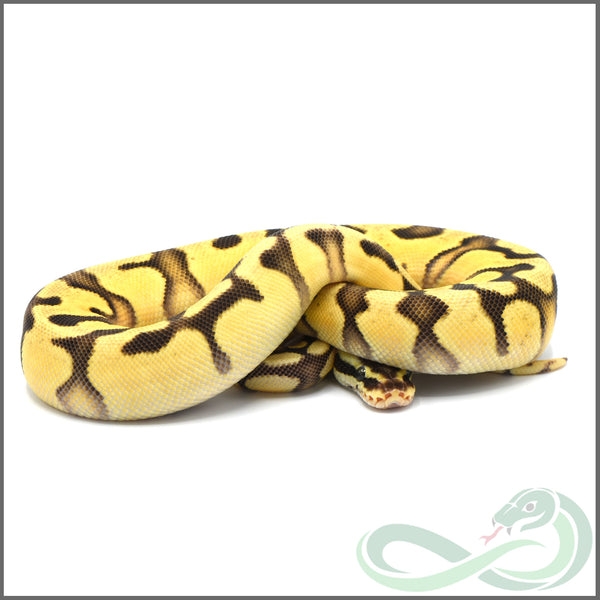 Super Pastel Enchi Orange Dream (Male #1)