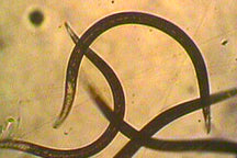 Beneficial Entomopathogenic Nematodes
