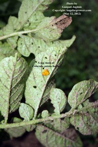 """The egg mass of Colorado potato beetle is yellow in color"""